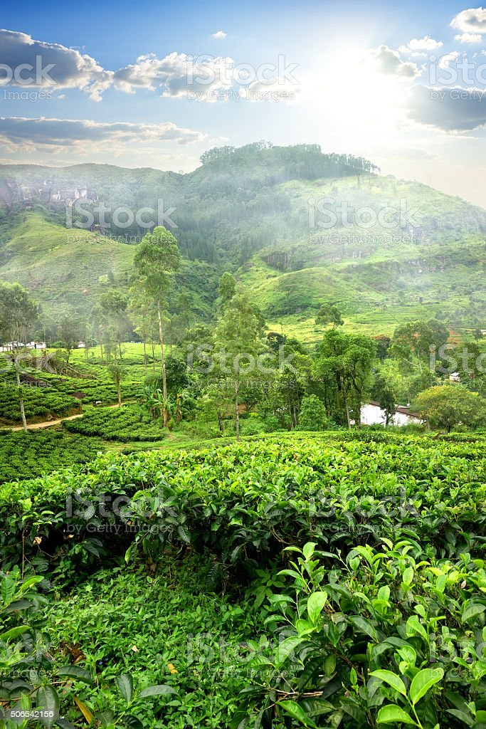 Fields of tea stock photo
