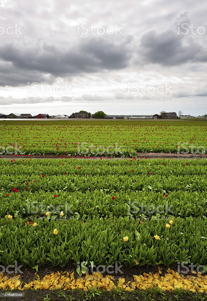 Fields of Tulips royalty-free stock photo