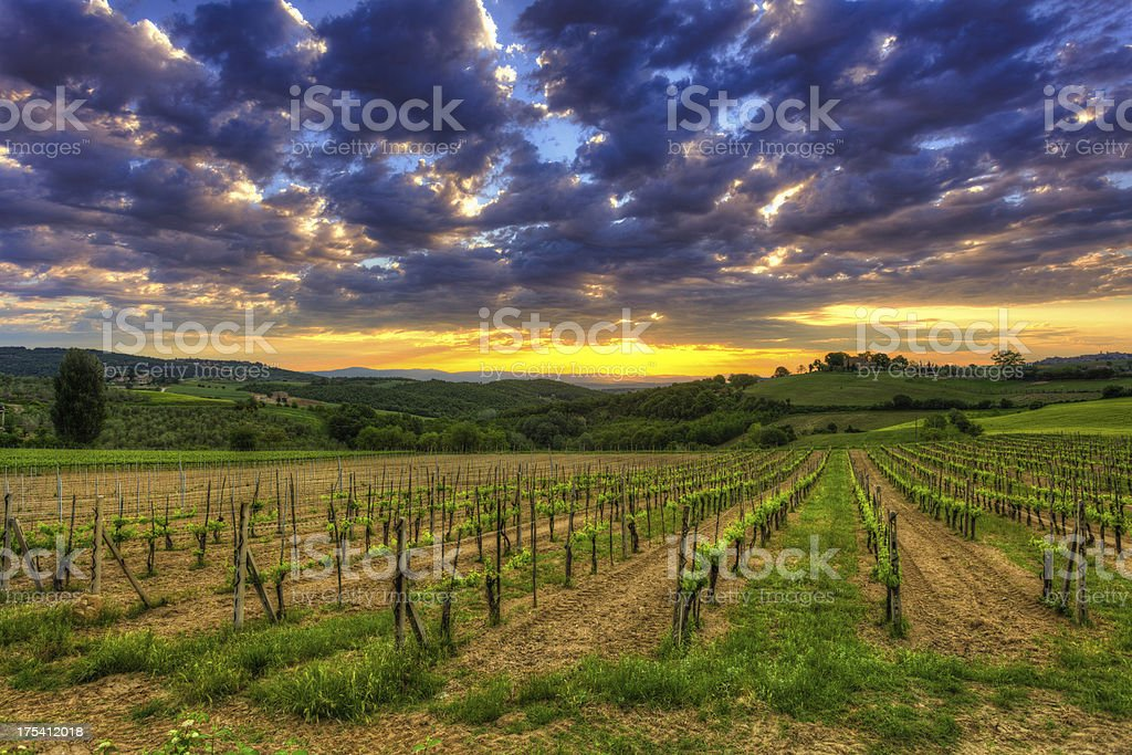 Fields of Vineyards at Sunrise in Tuscany royalty-free stock photo