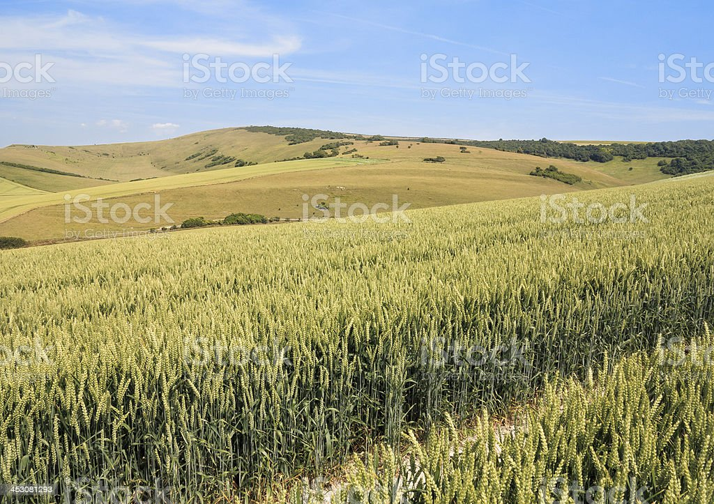 Fields of wheat in the South Downs stock photo