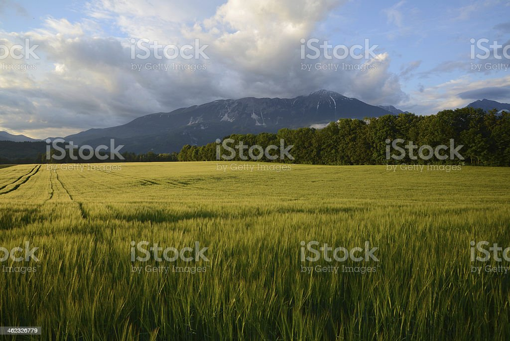 Fields of wheat royalty-free stock photo
