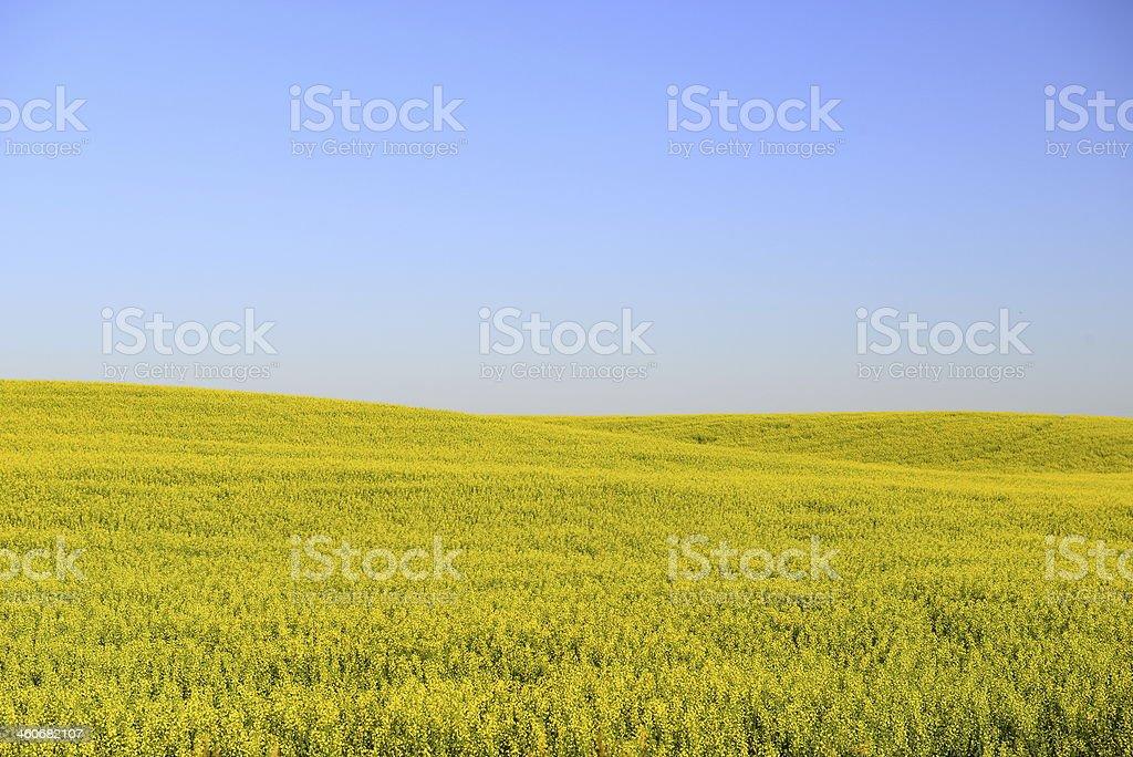 Fields of Yellow in Northwestern Montana stock photo