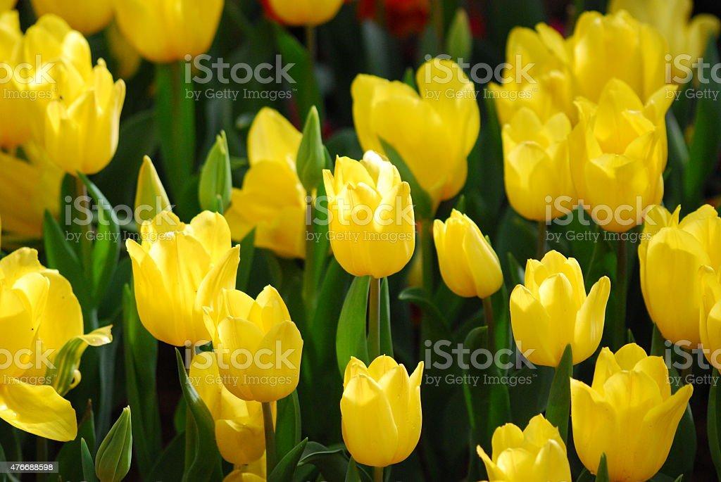 Fields of yellow tulips. stock photo