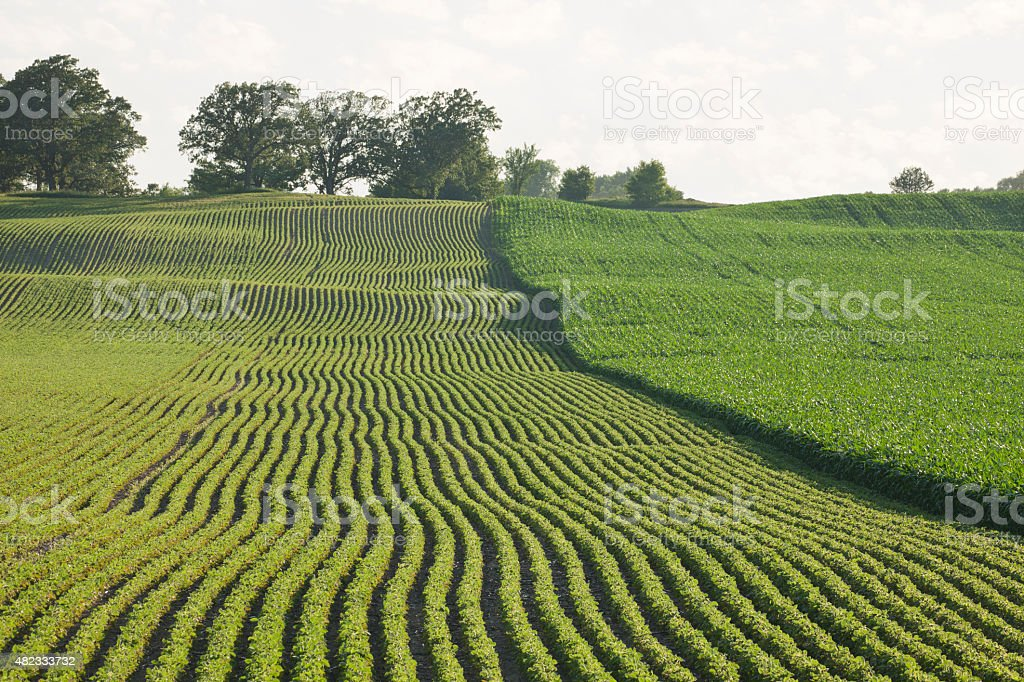 Fields of young corn and soybeans in late afternoon sunlight stock photo