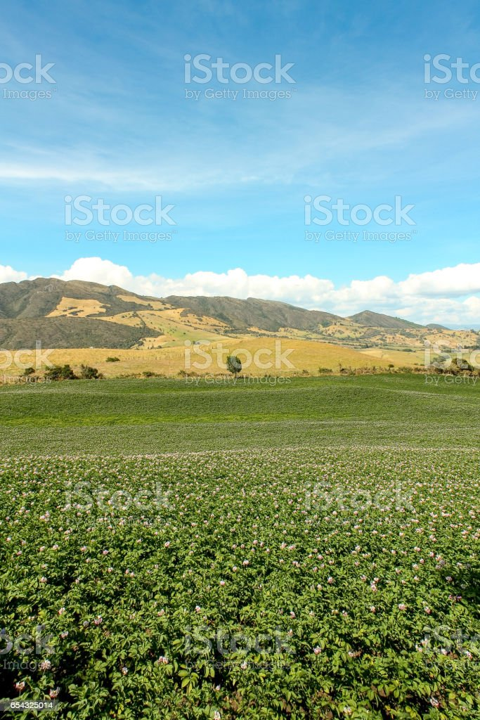Fields planted with potatoes in bloom. Andes. Bogota region. Colombia. stock photo