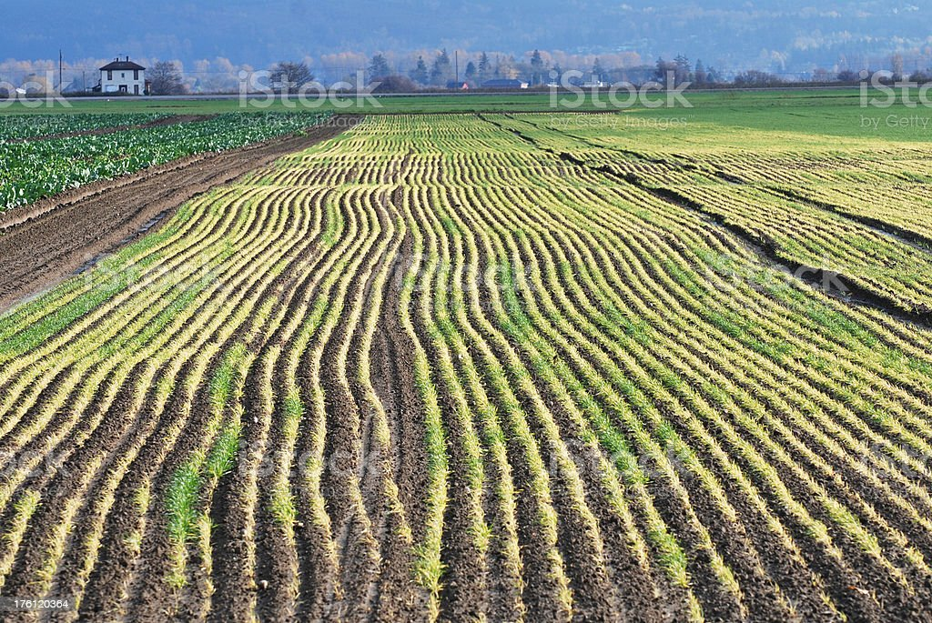 Fields planted with winter crops stock photo