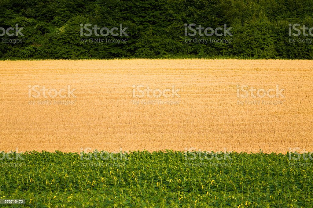 Fields - Sunflowers and Wheat stock photo