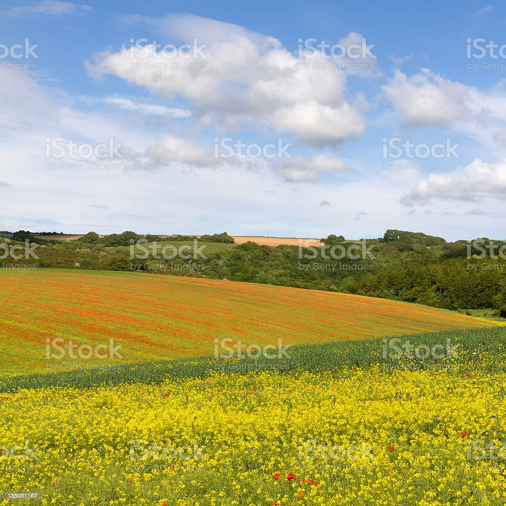 Fields with blooming rapeseed and poppies, Cotswolds, UK royalty-free stock photo