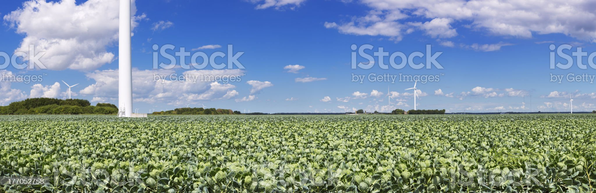 Fields with Brussels sprouts in The Netherlands royalty-free stock photo