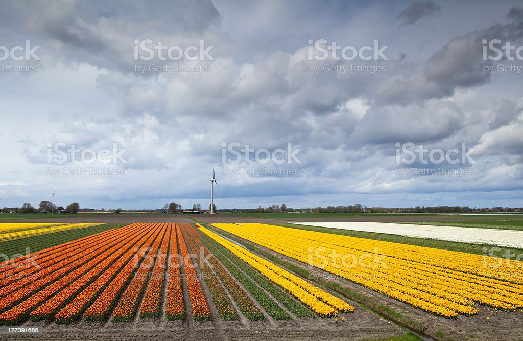 fields with prange and yellow tulips royalty-free stock photo