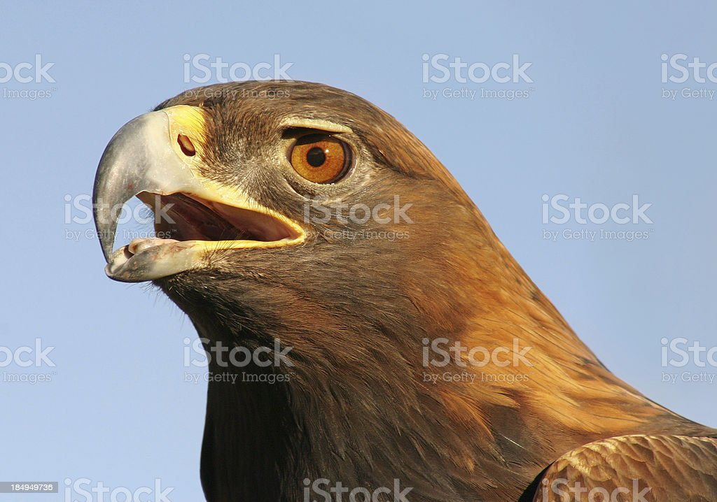 Fierce! - A Golden Eagle Portrait royalty-free stock photo