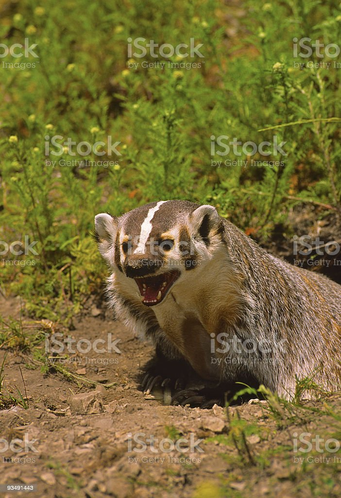 Fierce Badger stock photo