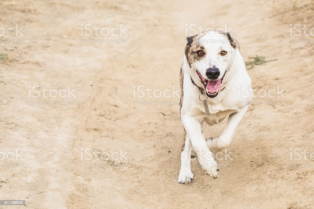 Fierce Dog Attacking stock photo