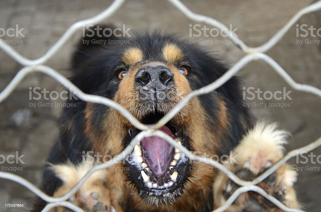 fierce Dog In The Cage royalty-free stock photo