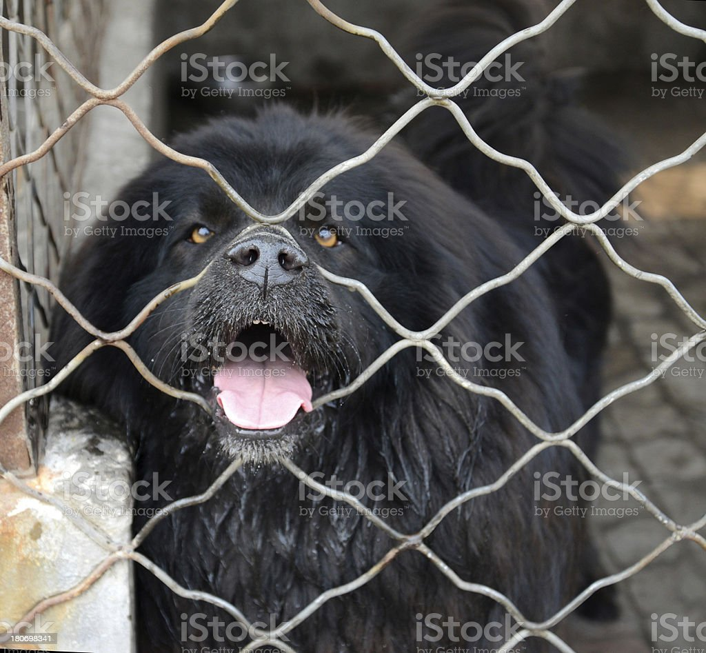 fierce Dog In The Cage stock photo