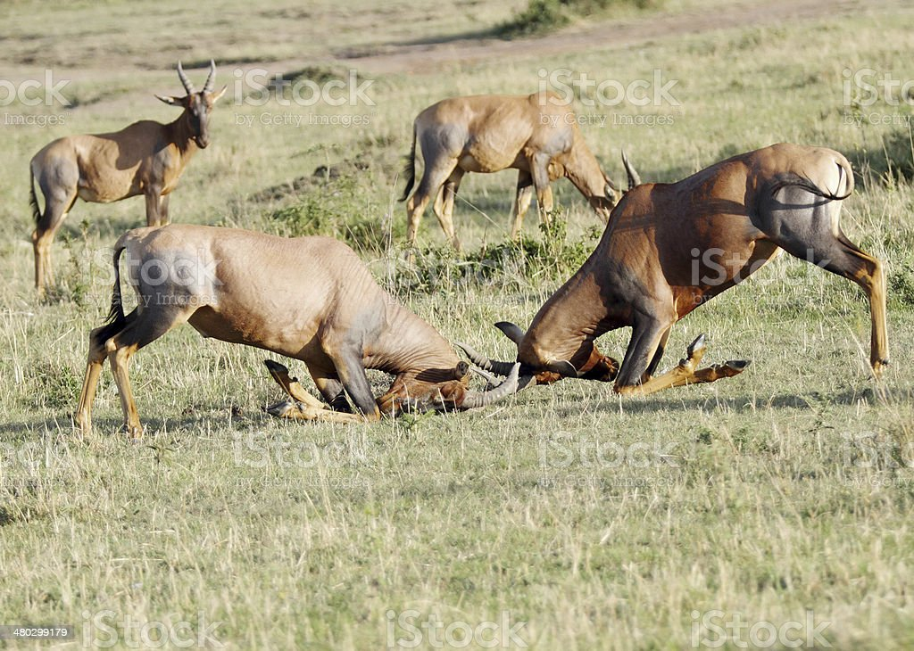Fierce fight between two Topi antelopes stock photo