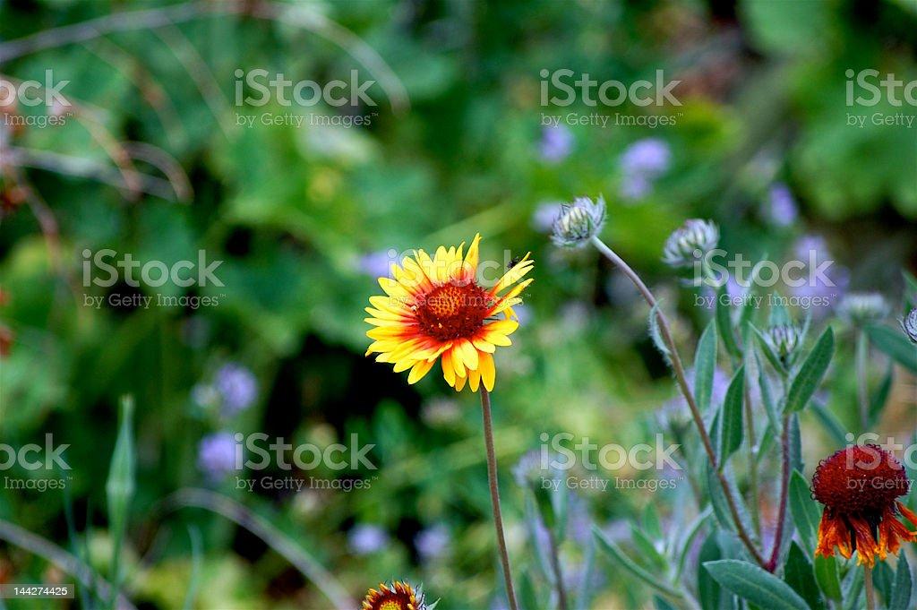 Fiery Flower royalty-free stock photo