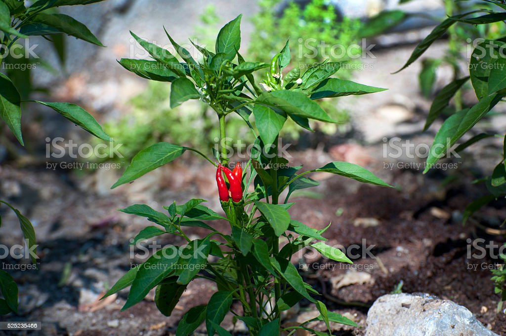 fiery red chilli stock photo