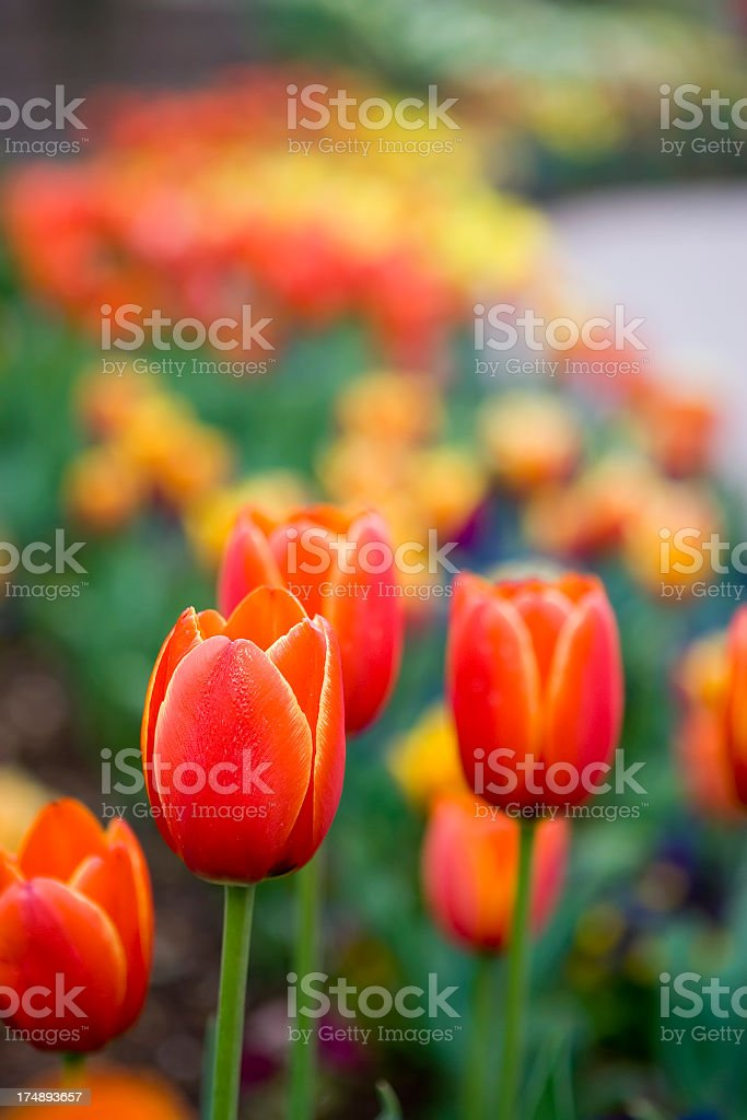 Fiery Red Tulips royalty-free stock photo