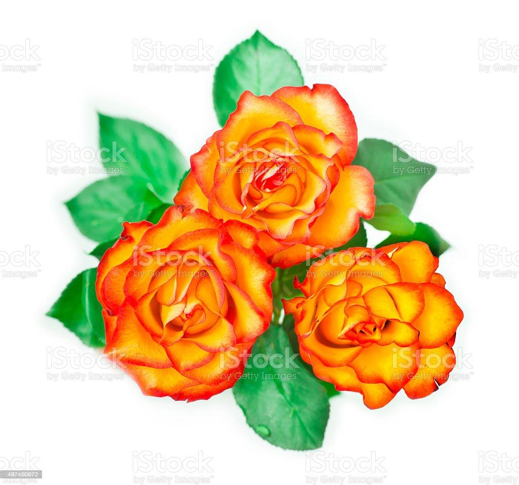 fiery rose stock photo
