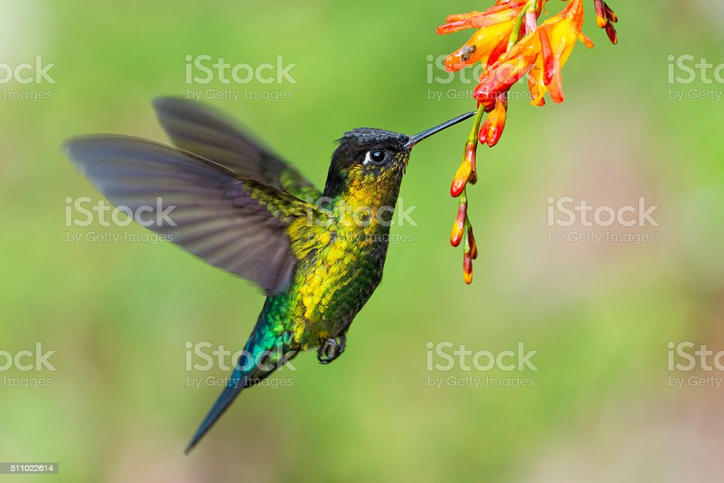 Fiery-throated Hummingbird Hovering stock photo