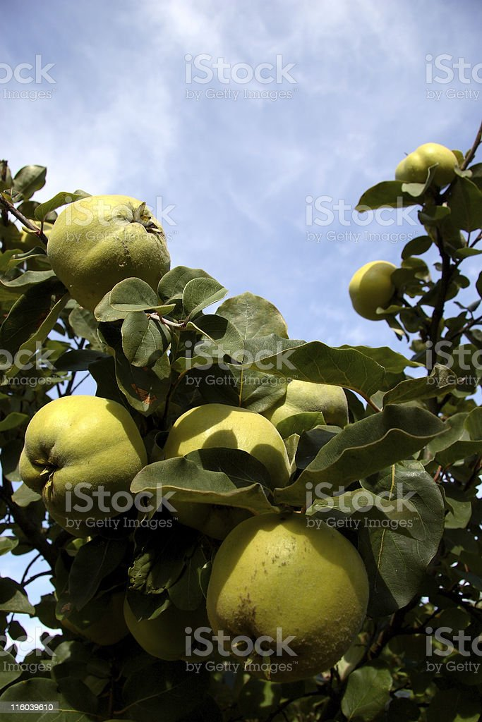 Quince 2 royalty-free stock photo