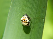 Fifteen-Spotted Lady Beetle Pupa