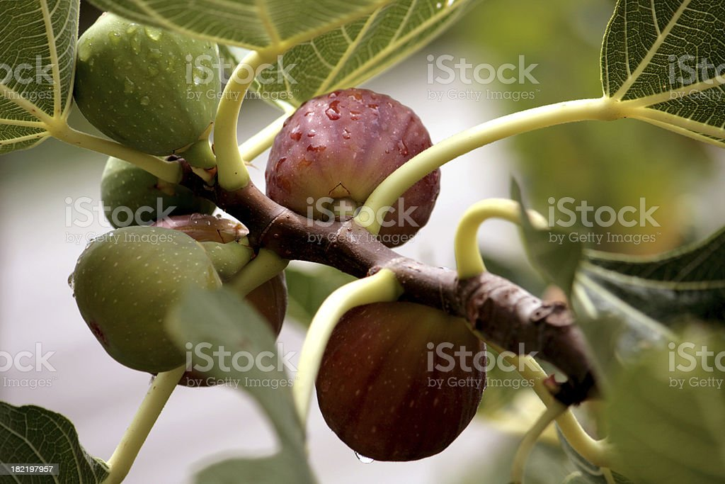 Fig after a rain stock photo