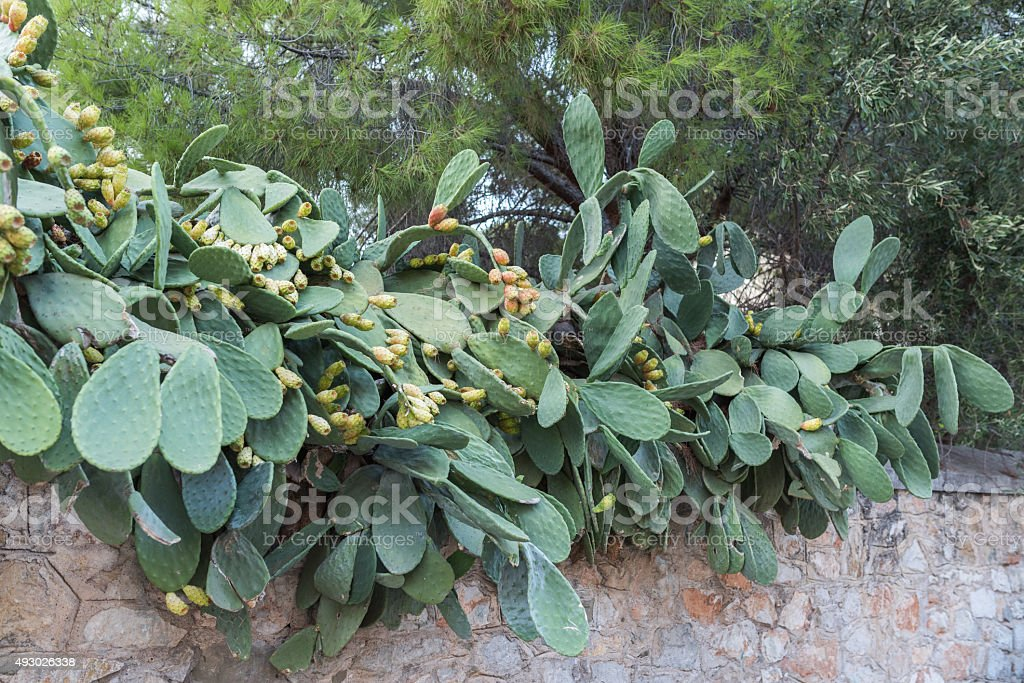 fig cactus with fruits stock photo