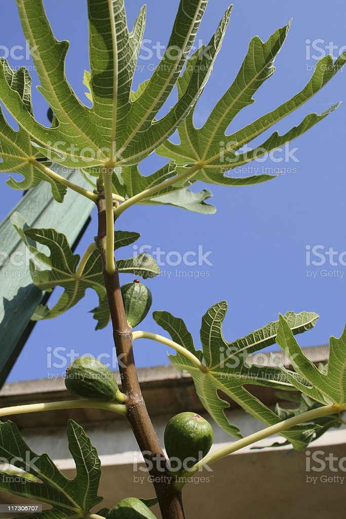 Fig, Feigen stock photo