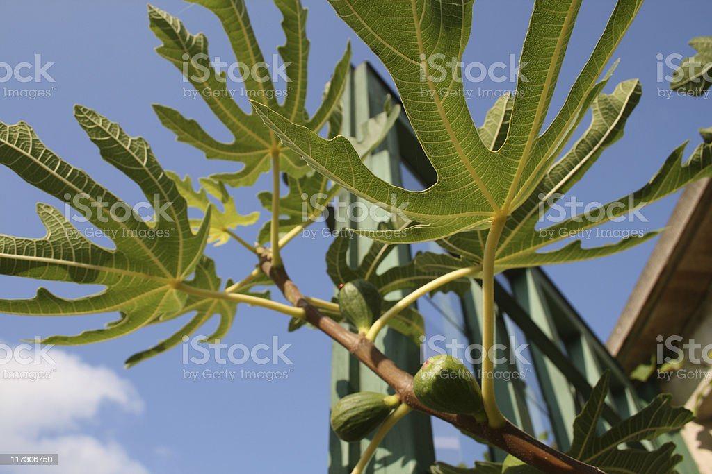 Fig, Feigen royalty-free stock photo