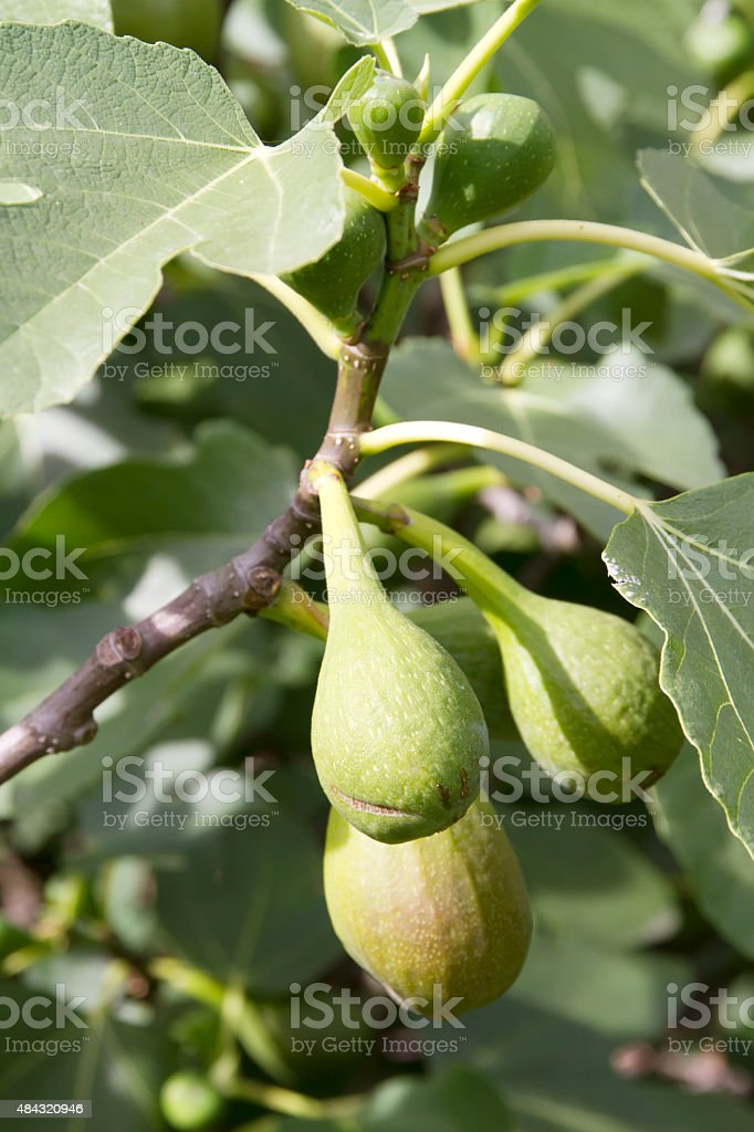 Fig Fruit (Ficus carica) stock photo
