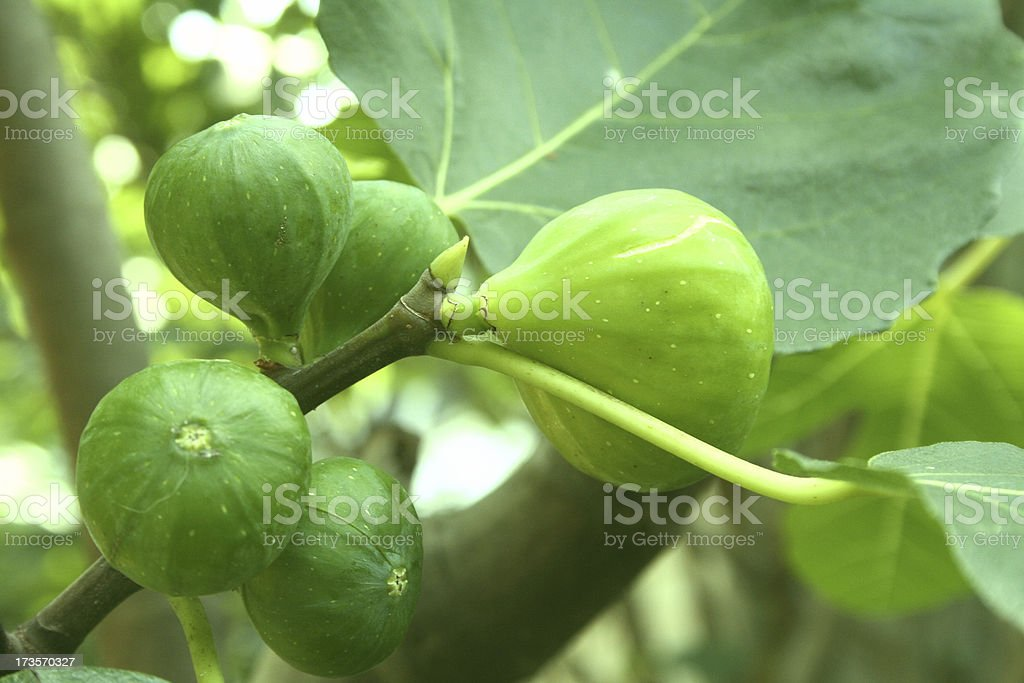 Fig harvest royalty-free stock photo