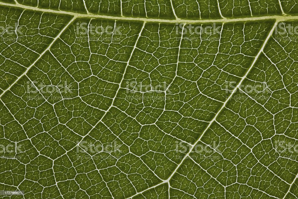 Fig Leaf Detail stock photo