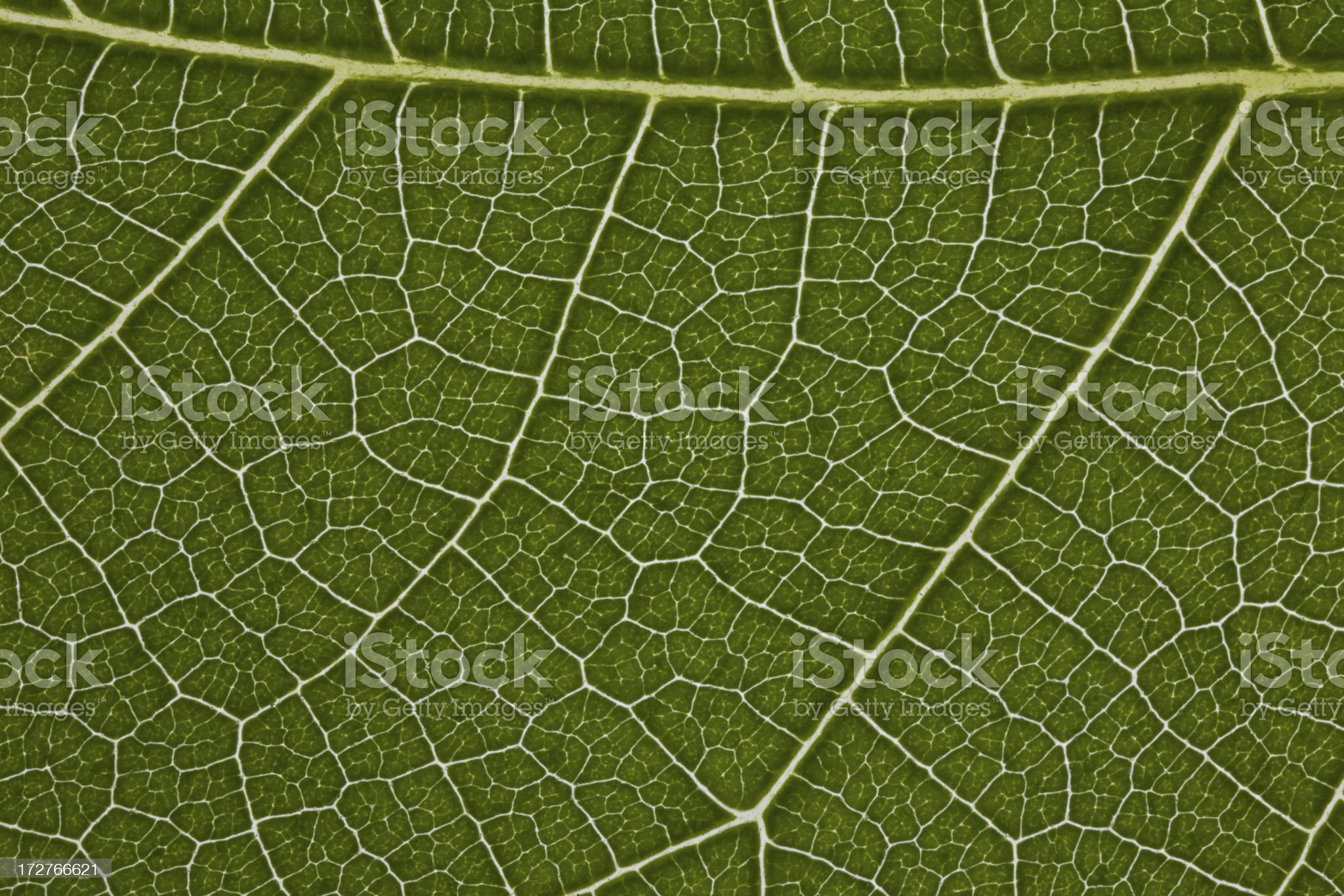 Fig Leaf Detail royalty-free stock photo