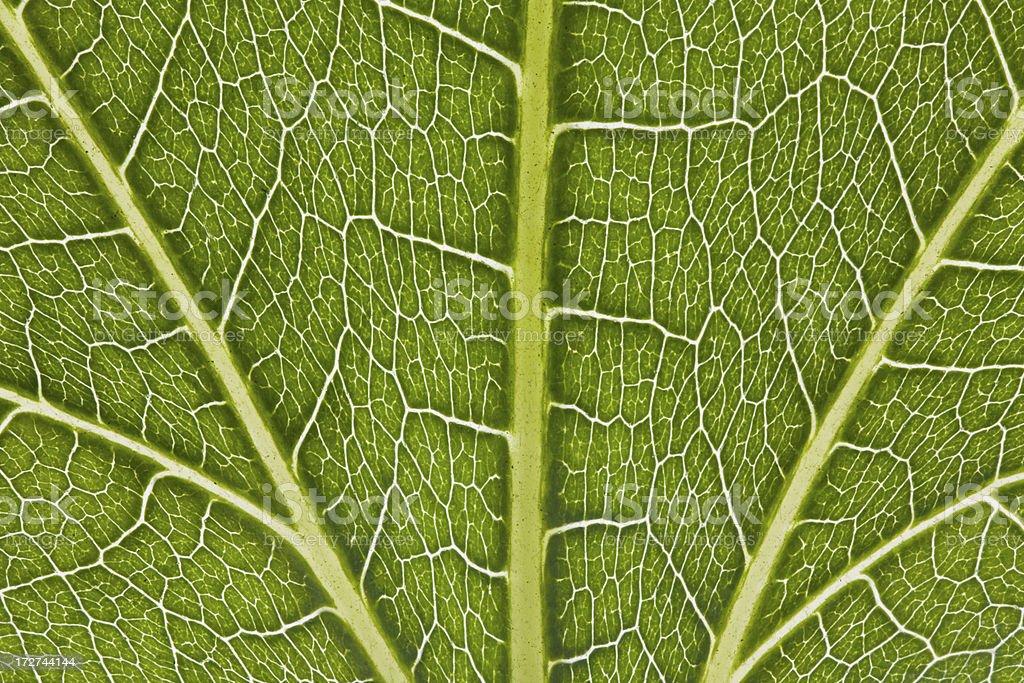 Fig Leaf Macro royalty-free stock photo
