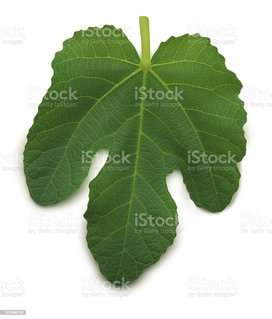 Fig Leaf royalty-free stock photo
