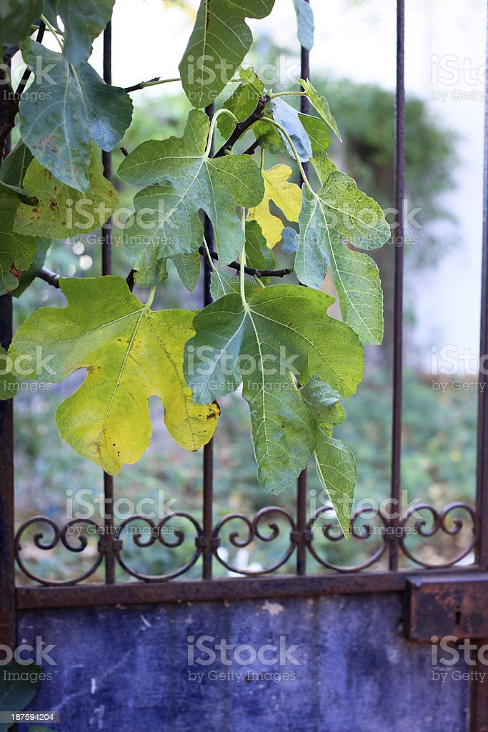Fig Leaves and Garden Gate royalty-free stock photo