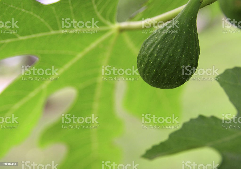 Fig & Leaves royalty-free stock photo