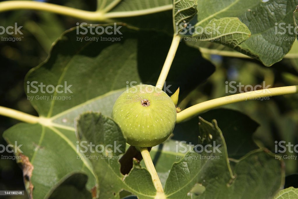 Fig royalty-free stock photo