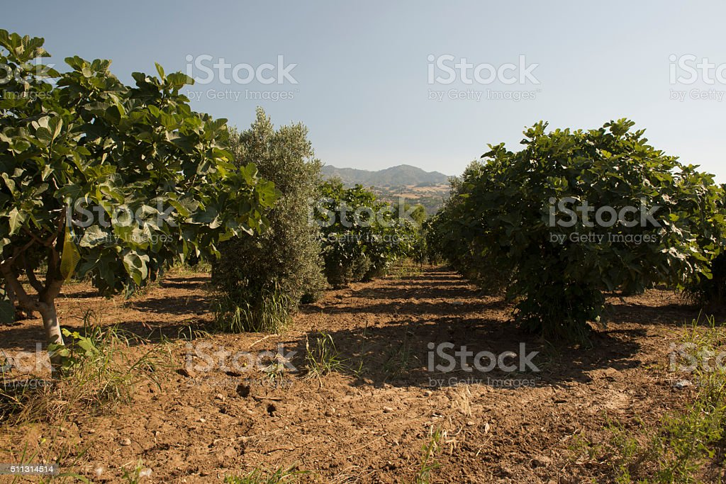 Fig tree and grape field, Turkey stock photo
