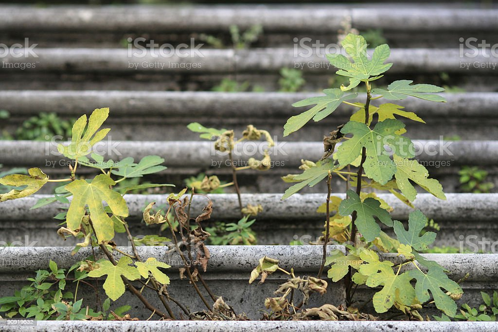 Fig tree growing on a church staircase in Rome royalty-free stock photo