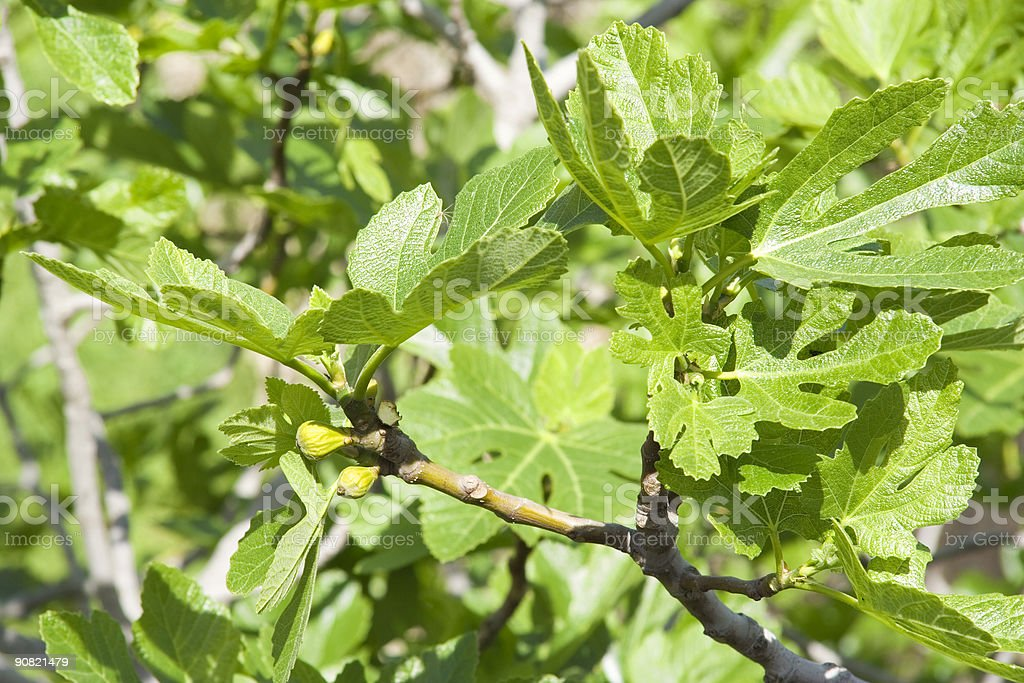 fig tree in spring with unripe fruits royalty-free stock photo