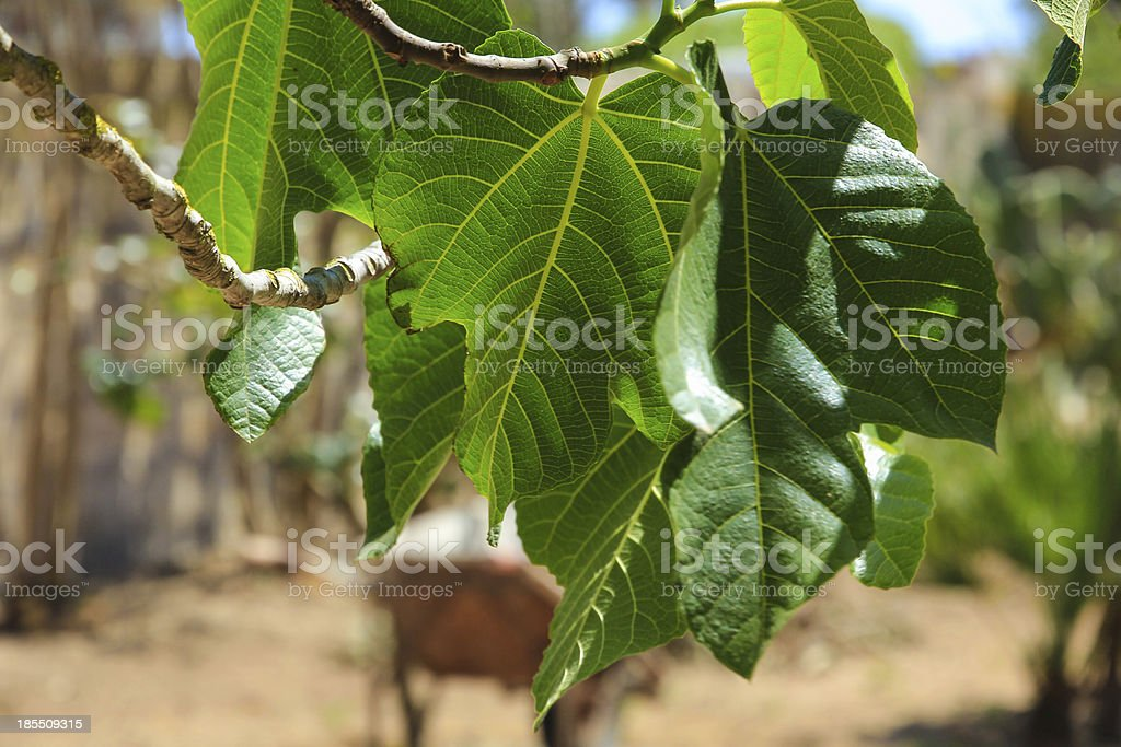Fig tree leaves royalty-free stock photo