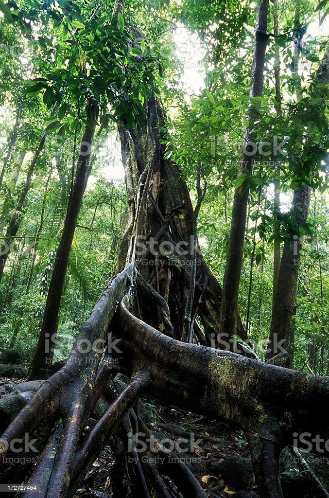 Fig tree royalty-free stock photo