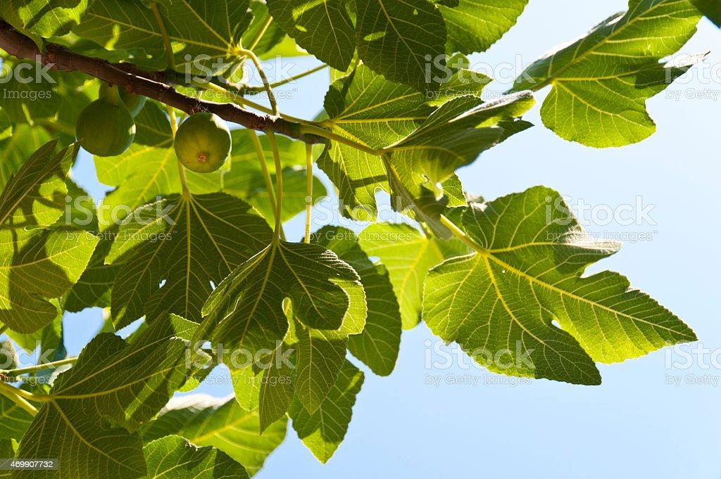 Fig tree stock photo