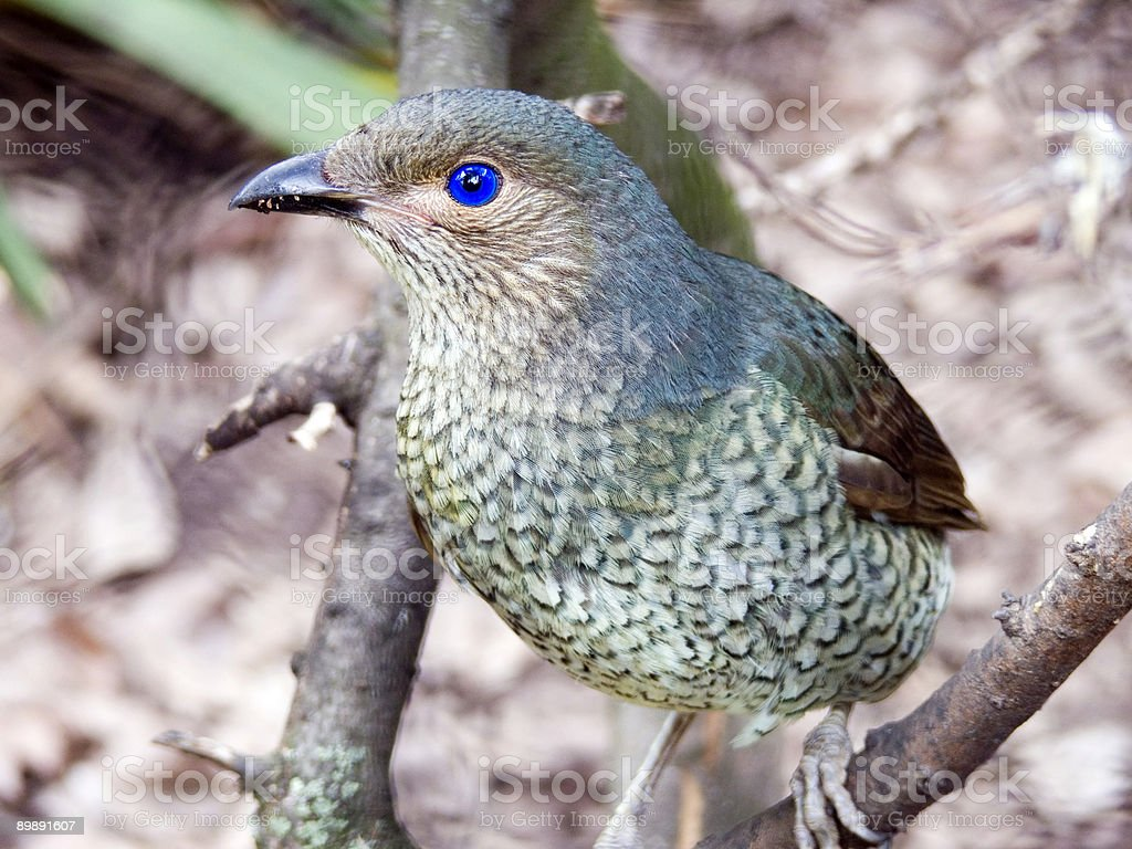 figbird royalty-free stock photo