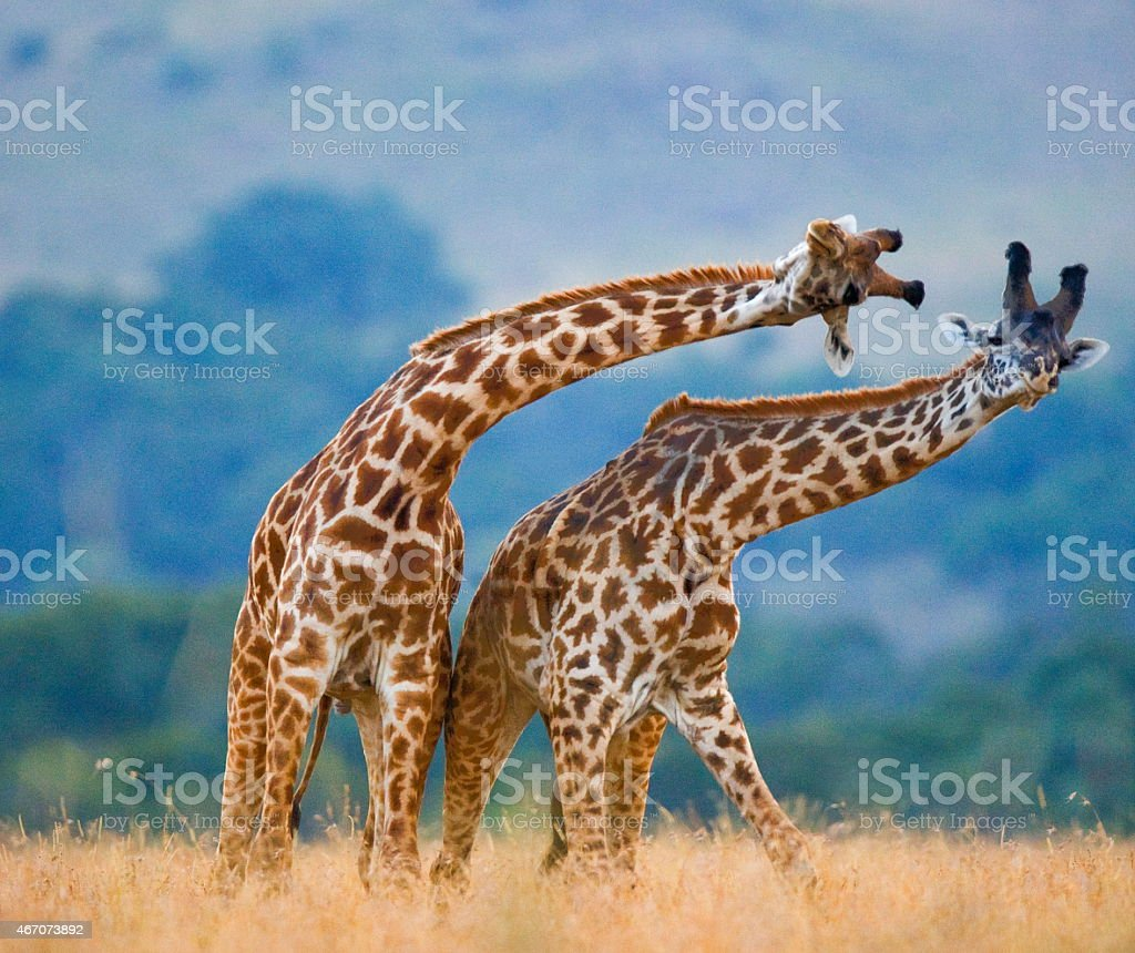 Fight between two male giraffes. stock photo