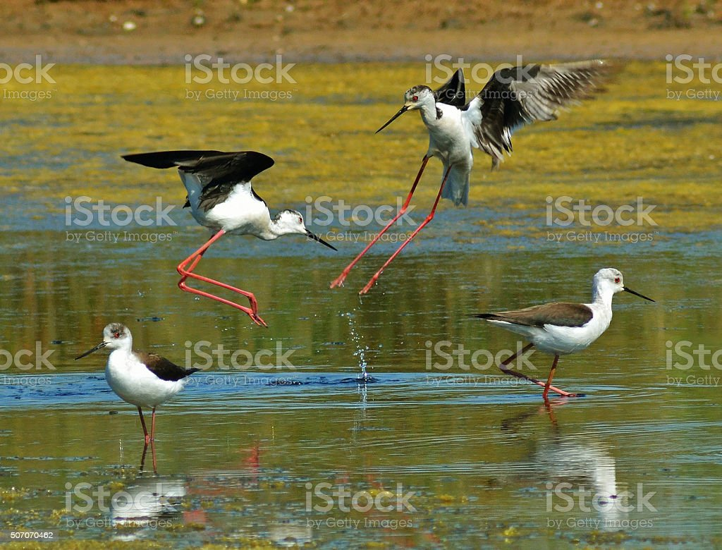 fight of black winged stilts stock photo