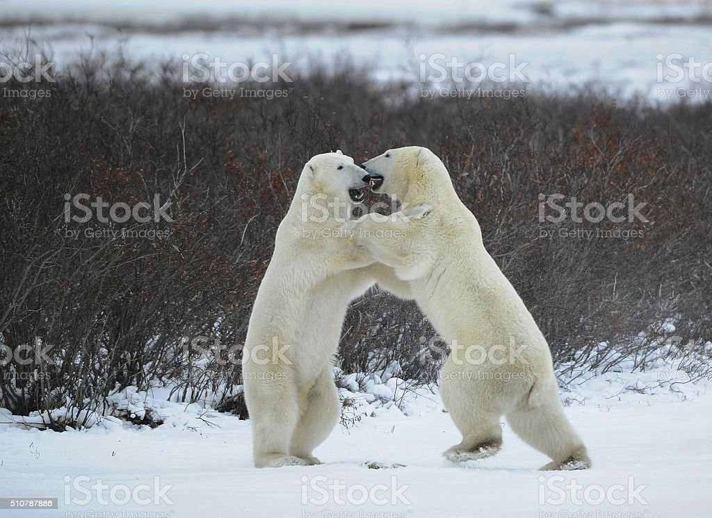Fight of polar bears. stock photo